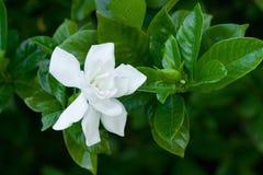 magnolia Стоковые Изображения