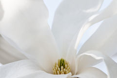Magnolia abstract background Royalty Free Stock Images