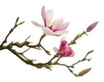 Magnolia aislada Imagenes de archivo