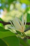 Magnolia Alba Stock Image