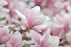 Magnolia Alexandrina Royalty Free Stock Photo