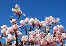 Magnolia Alexandrina Flowers Royalty Free Stock Images