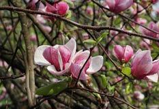 Magnolia après pluie Photographie stock libre de droits