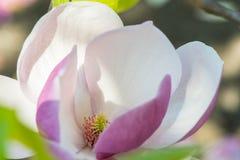 Magnolia au printemps Photo stock
