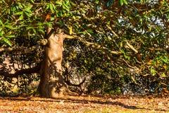 Magnolia in autumn park Royalty Free Stock Photo