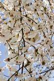 Magnolia background stock photos