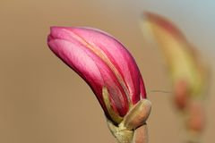 Magnolia beautiful flower Royalty Free Stock Images