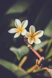 Magnolia Royalty Free Stock Photo