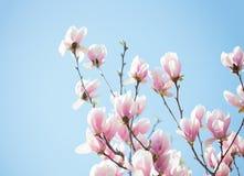 Magnolia. Stock Photo