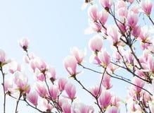Magnolia. Stock Photography