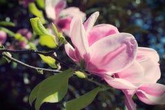 Magnolia Stock Photos