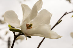 Magnolia. Beautiful white flowers of magnolia Royalty Free Stock Photo