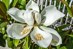 Magnolia with bee Royalty Free Stock Photo