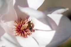 Magnolia - bei fiori Immagine Stock Libera da Diritti