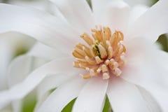 Magnolia bianca Immagini Stock Libere da Diritti