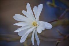 Magnolia bianca Fotografia Stock