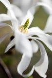 Magnolia blanca foto de archivo