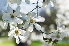 Magnolia blanca Imagen de archivo libre de regalías