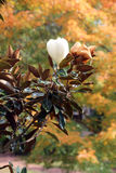 Magnolia blanca Imagenes de archivo