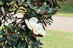 Magnolia blanca Fotos de archivo libres de regalías