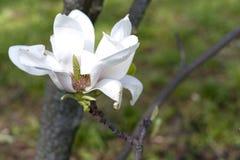 Magnolia blanca en una rama Flor blanca de la primavera en el parque Fotografía de archivo