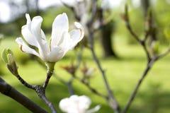 Magnolia blanca en una rama Flor blanca de la primavera en el parque Fotografía de archivo libre de regalías