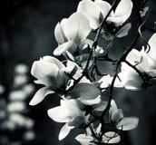 Magnolia blanco y negro Foto de archivo libre de regalías