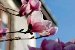 Magnolia in bloei stock foto's