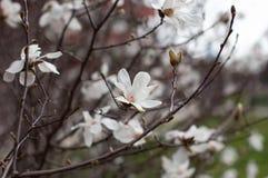 Magnolia in bloesem Witte magnoliabloemen en knoppen Vage achtergrond close-up, zachte selectieve nadruk stock afbeelding