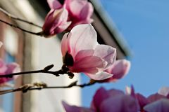 Magnolia in bloom. Pink magnolia in bloom near the house corner Stock Photos