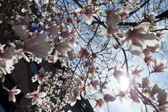 Magnolia in bloom. A beautiful majestic magnolia tree is blossoming and is hit by spring sunshine Stock Photography