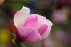 Magnolia bloom Royalty Free Stock Image