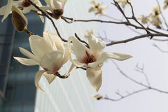 Magnolia bloom in the city Royalty Free Stock Photo