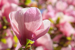 Magnolia bloom Royalty Free Stock Images