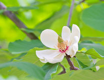 Magnolia in bloom Royalty Free Stock Photos