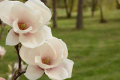 Magnolia in bloom closeup Royalty Free Stock Photos