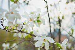 Magnolia bloom Stock Image