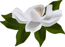 Magnolia bloom on green leaves Royalty Free Stock Photography