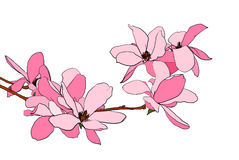 Magnolia bloom illustration. Illustration of magnolia flowers in full bloom Royalty Free Stock Images