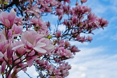 Magnolia In Bloom Stock Photo