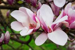 Magnolia In Bloom Royalty Free Stock Images