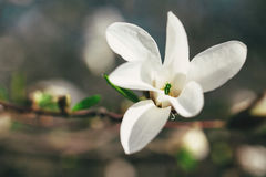 Magnolia blooming Stock Photo