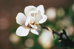 Magnolia blooming Royalty Free Stock Photos