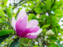 Magnolia blooming pink white flower green leaf Stock Image