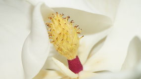 Blooming Magnolia. Blooming White Magnolia in the sun Stock Image