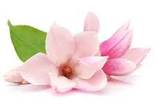 Magnolia blooms Stock Photo