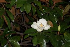 Magnolia blooms. The Magnolia blossoms the aroma of evening sea walks Royalty Free Stock Photo