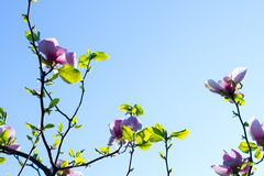 Magnolia blooms in spring. Royalty Free Stock Images