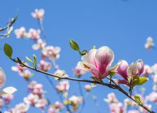 Magnolia blooms in spring Stock Image