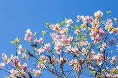 Magnolia blooms in spring Royalty Free Stock Image